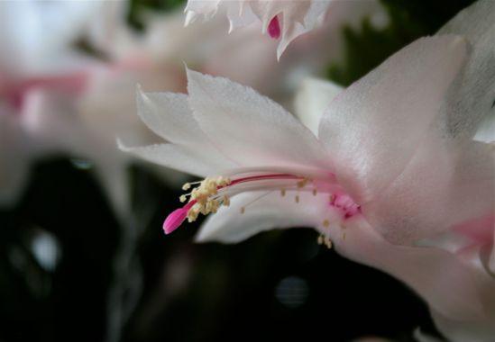 Delicate cactus bloom