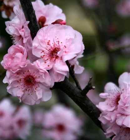 cherry blossom photo debiriley.com