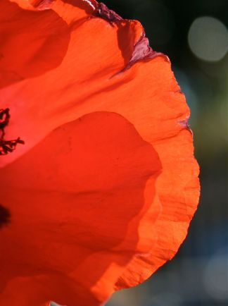sunlit glowing poppy petals photo debiriley.com