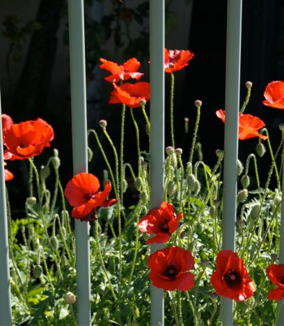 Red poppies behind the fence lines debiriely.com