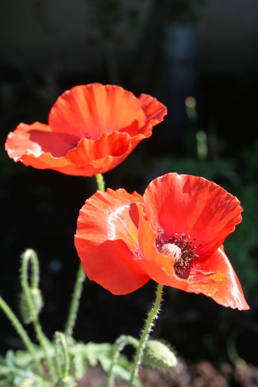 Red Open poppies debiriley.com