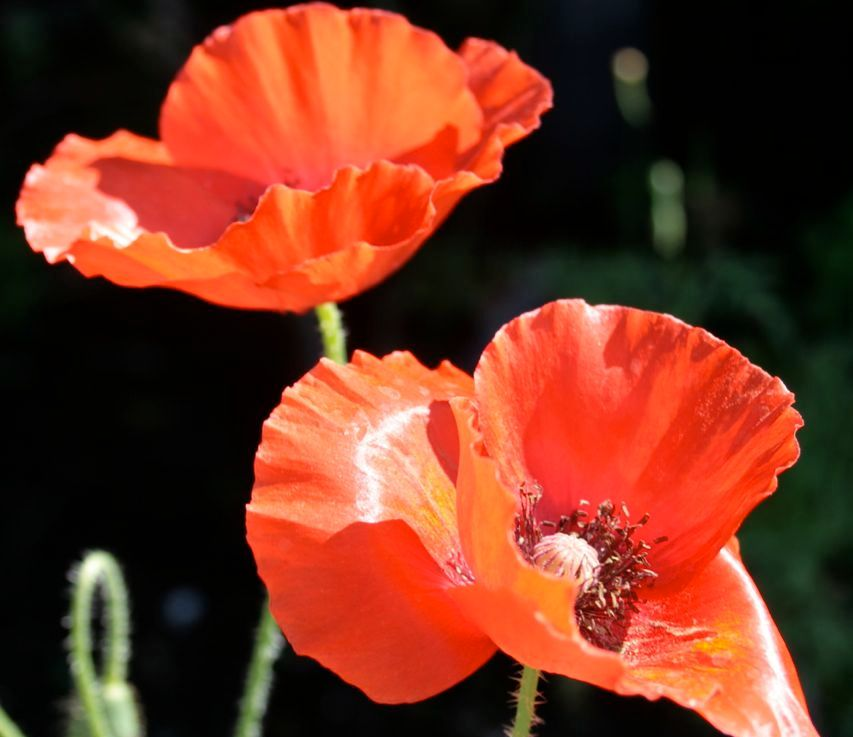 Scarlet Red Flowers:Photographs