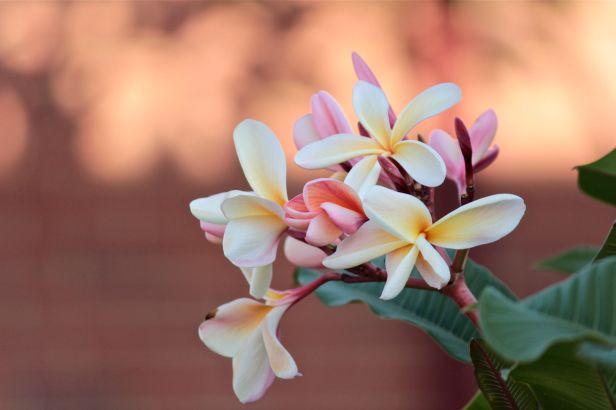 frangipani photograph debiriley.com
