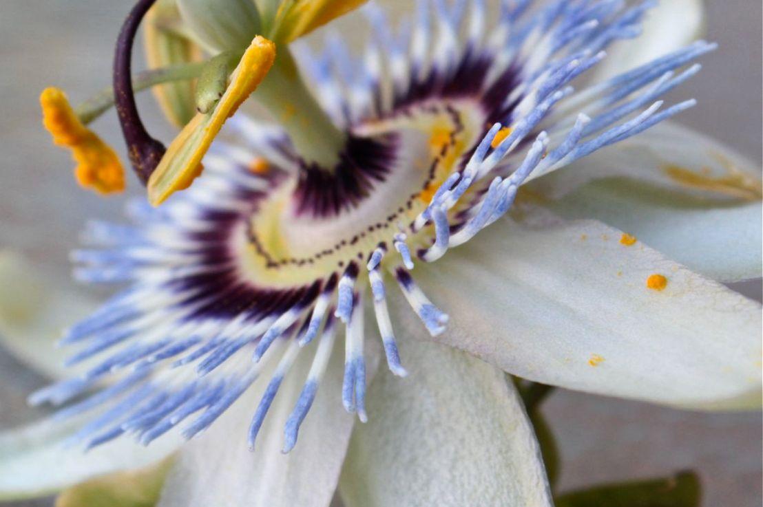"Passion Flower  ""Espina deChristo"""
