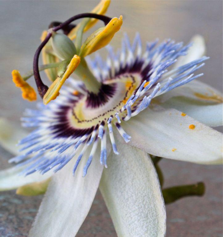 passion flower espina de christo  debiriley.com