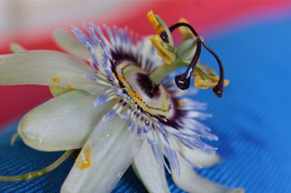 passion flower debiriley.com
