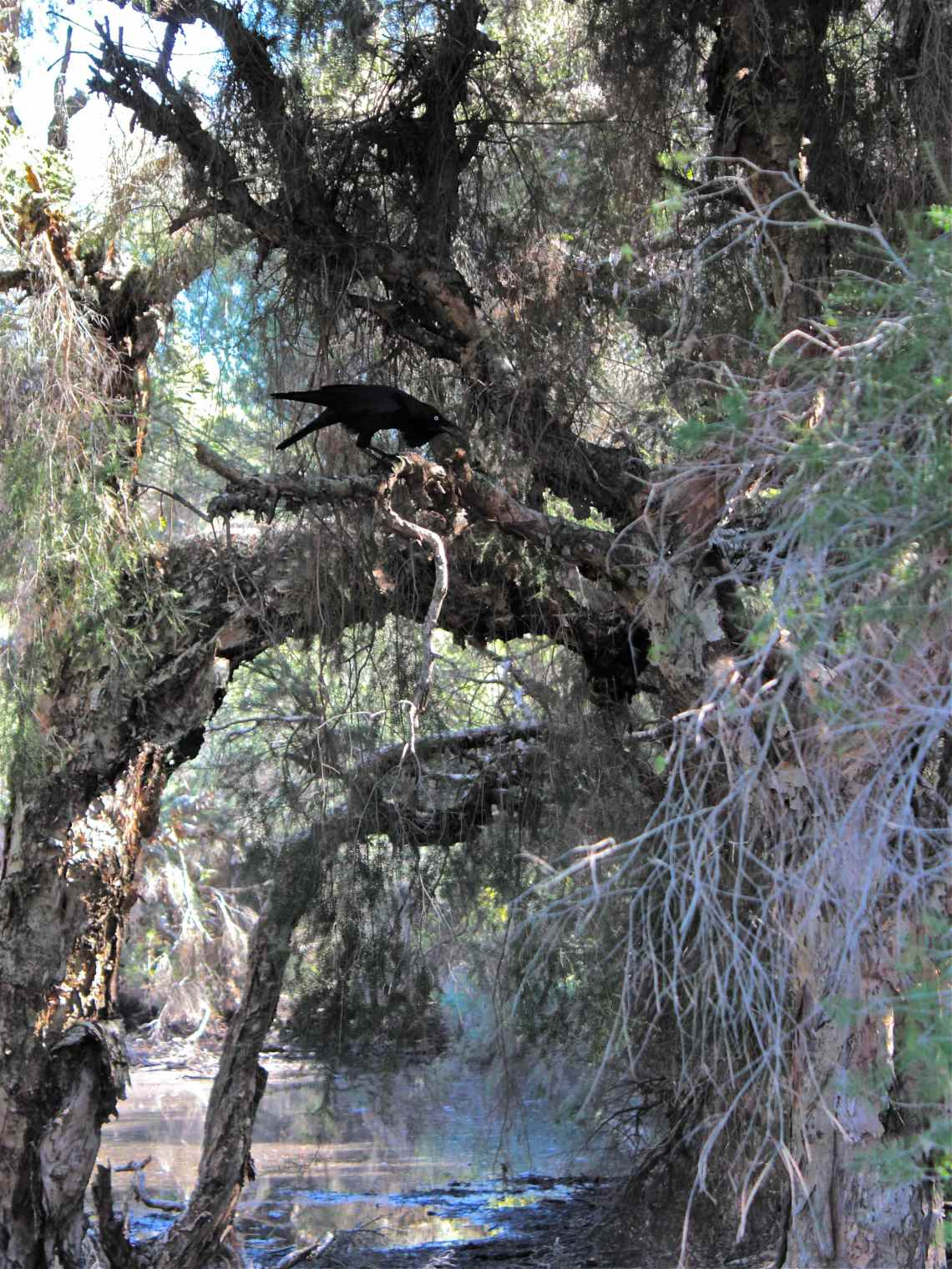 Crow Calling Perth, australia photo debiriley.com