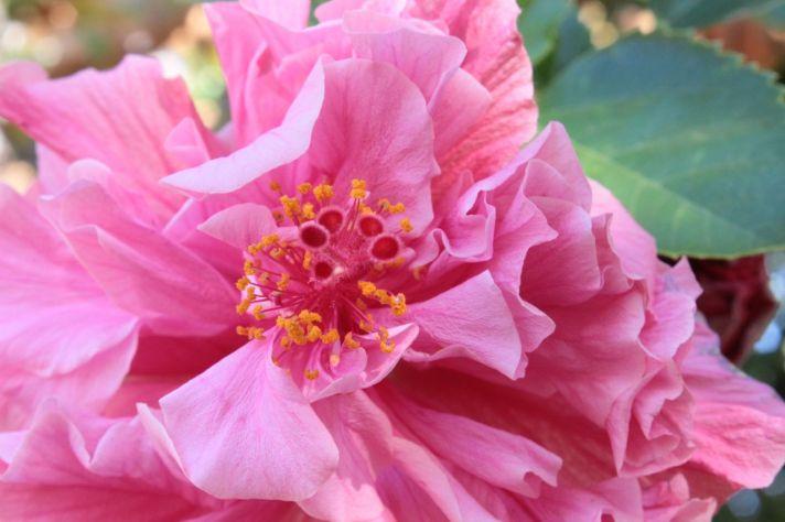 pink hibiscus  debiriley.com
