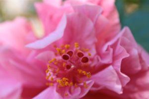 Hibiscus centre debiriley.com