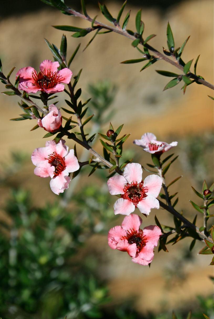 tea tea blossom debiriley.com