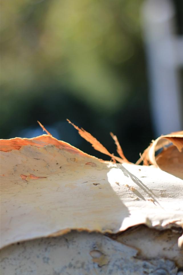 Paperbark tree photo canon 50mm EF f1.8 debiriley.com