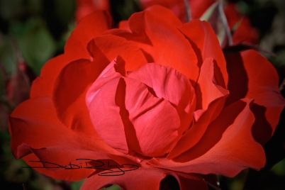 scarlet red rose  photograph debiriley.com