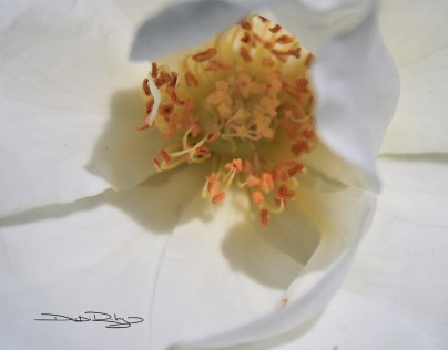rose centre, gold and cream photo