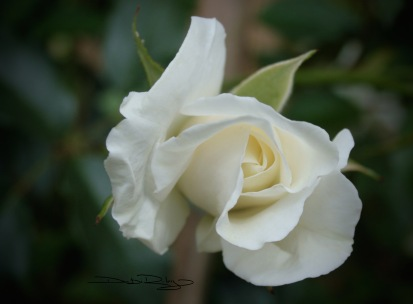 white rose bud photo