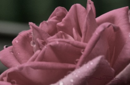 Faded Rose photo