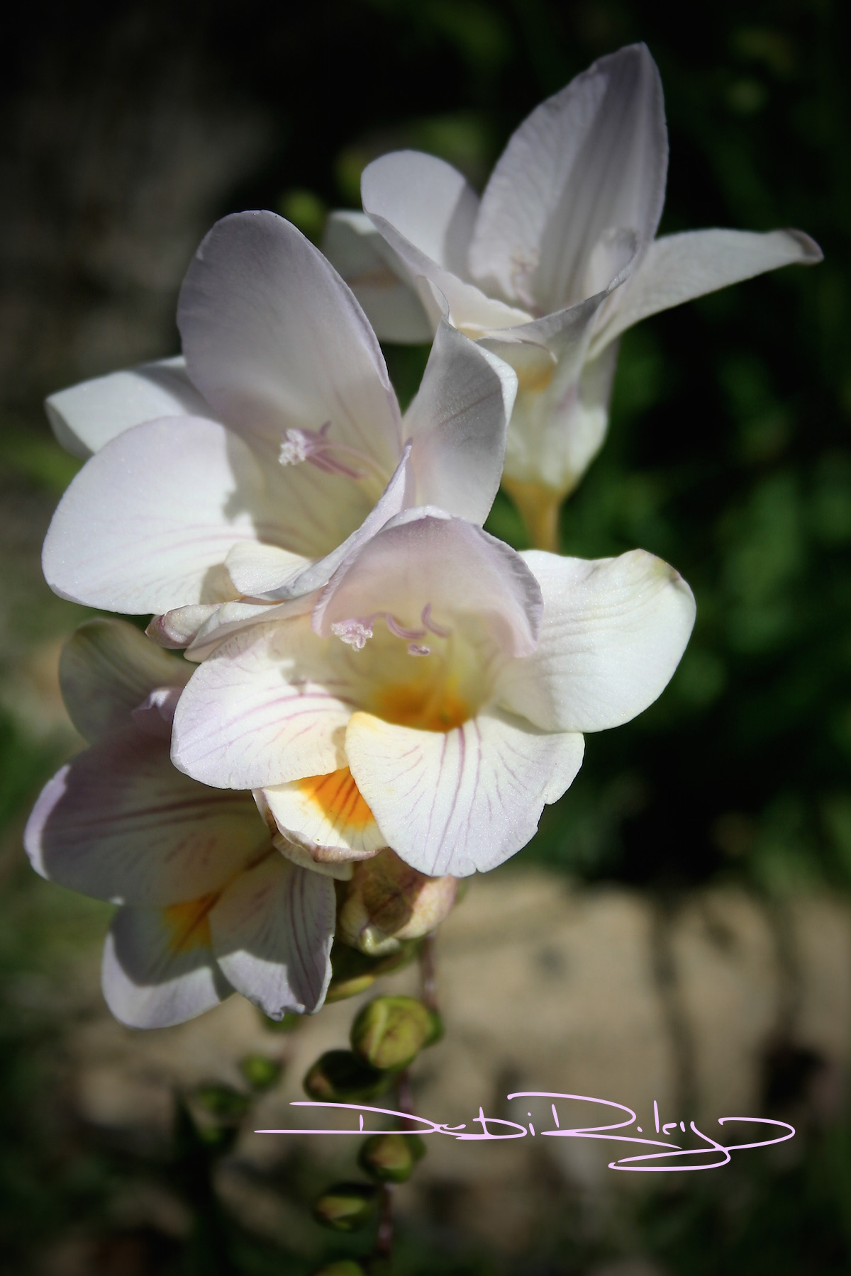 freesia in the gardens, debi riley photograph, flower gardens