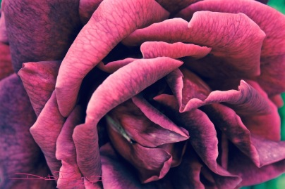 maroon rose photo  debiriley.com