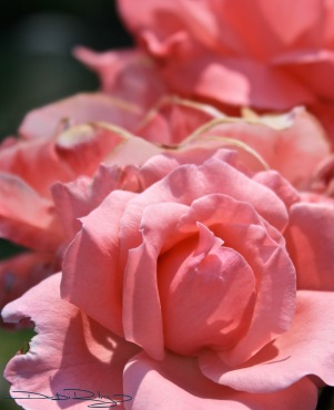 pretty pink roses photo