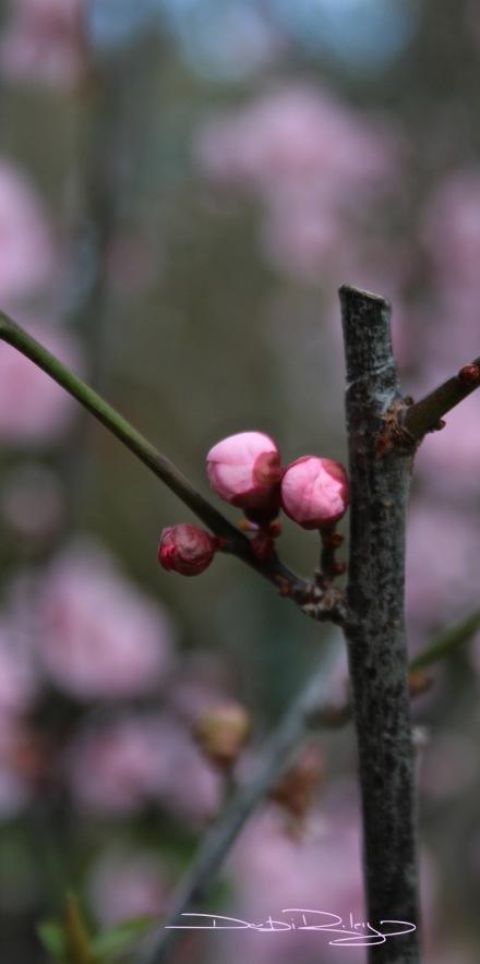 Photo, plum blossoms and buds, debiriley.com