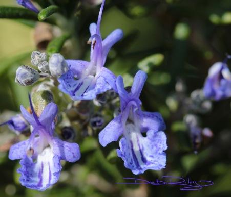 Cobalt blue rosemary canon macro photo, debiriley.com