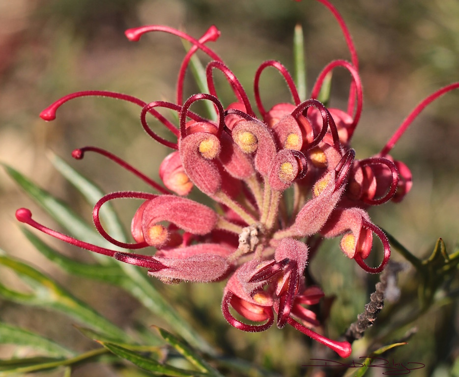 Gorgeous Grevillea Late AfternoonSun