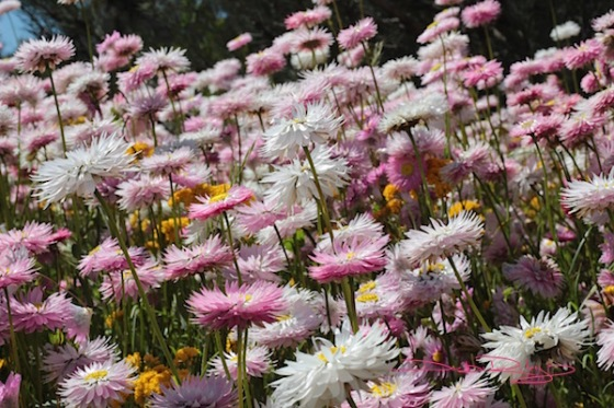 Perth everlastings, wildflower photo debiriley.com