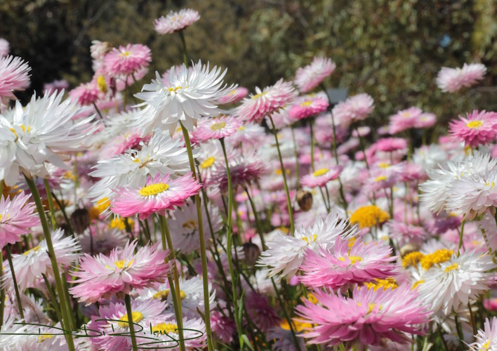 australian native plants the kings park experience