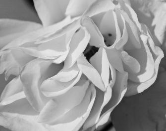 b/w photo rose petal folds debiriley.com