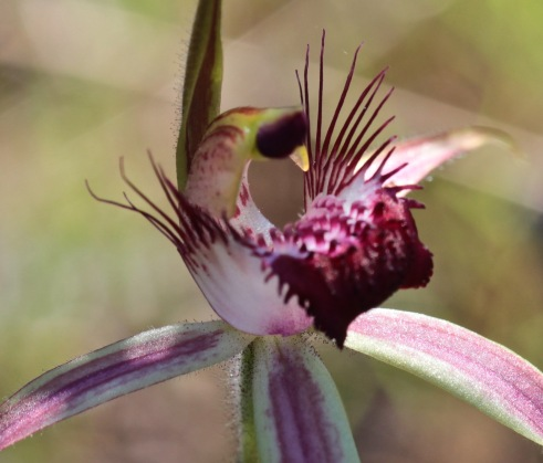 Spider Orchid, Perth photograph debiriley.com