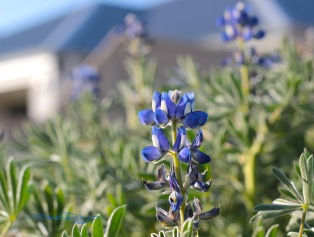 Lupine Blossoms, photograph, debiriley.com