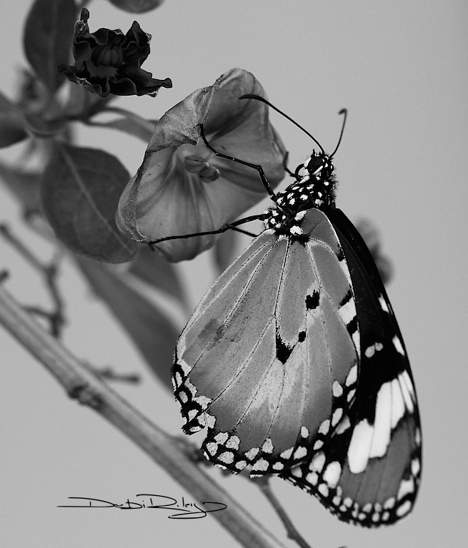 B/W Monarch Butterfly, without distracting colour, debiriley.com