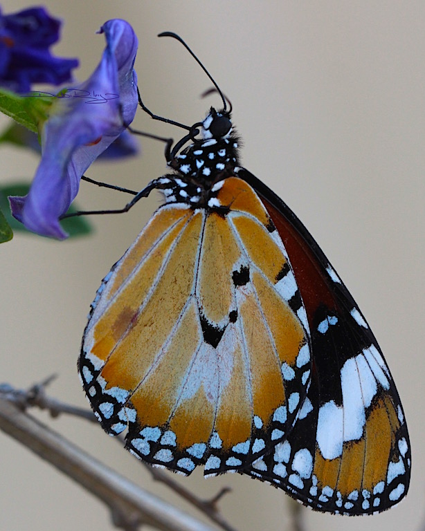 Monarch butterfly in orange, brown colours