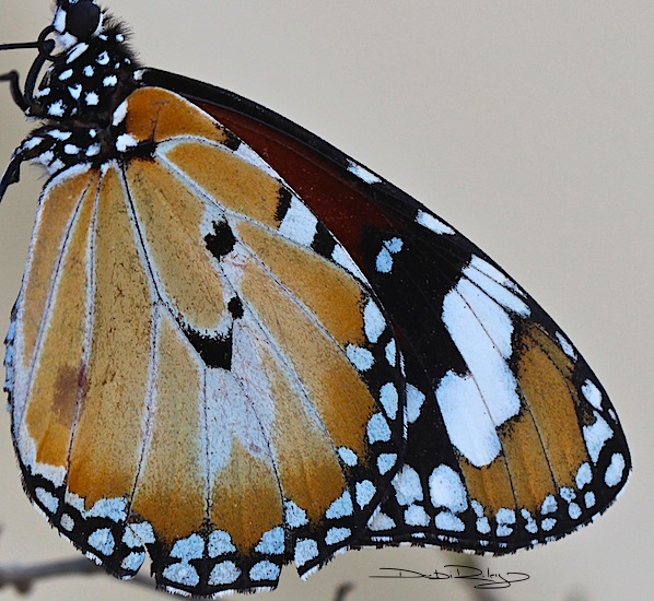Monarch Butterfly Closeup, in colour, debiriley.com
