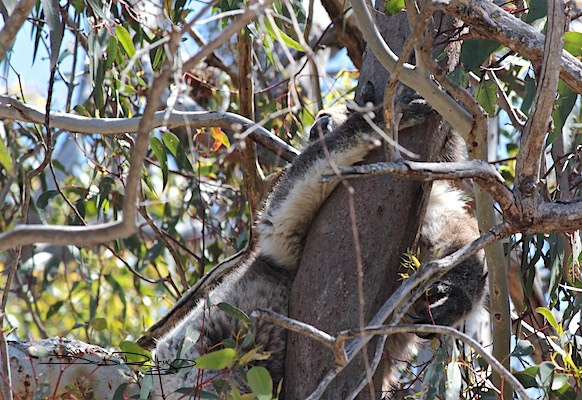Koala Spotted at Yanchep National Park, WA