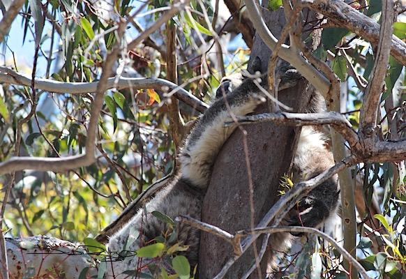 Koala Spotted at Yanchep National Park, WA