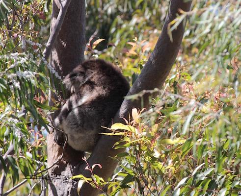 koala asleep, Yanchep National Park, Western Australi, debiriley.com