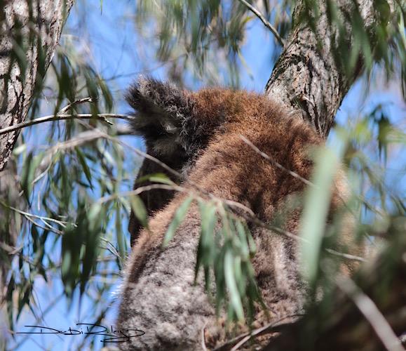 koala, Yanchep NP, debiriley.com