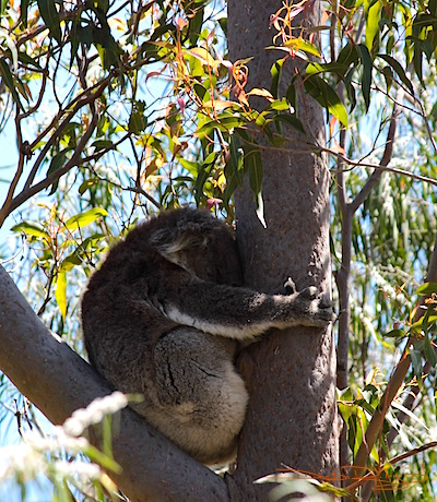 Nodding off, koala at Yanchep NP, debiriley.com