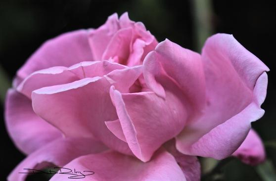 blushing rose, neighbours garden roses, debiriley.com