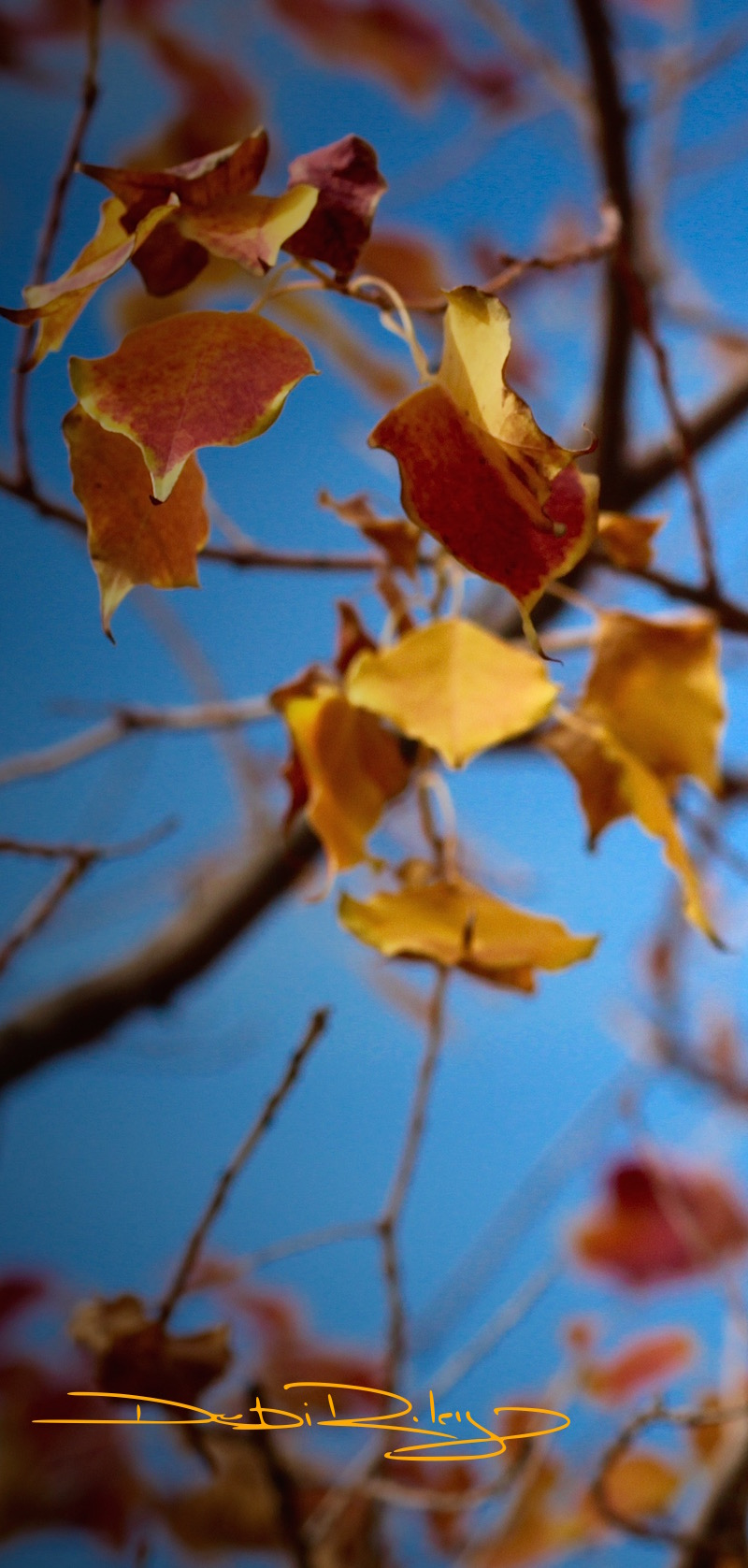 Autumn Leaves of gold, orange, red