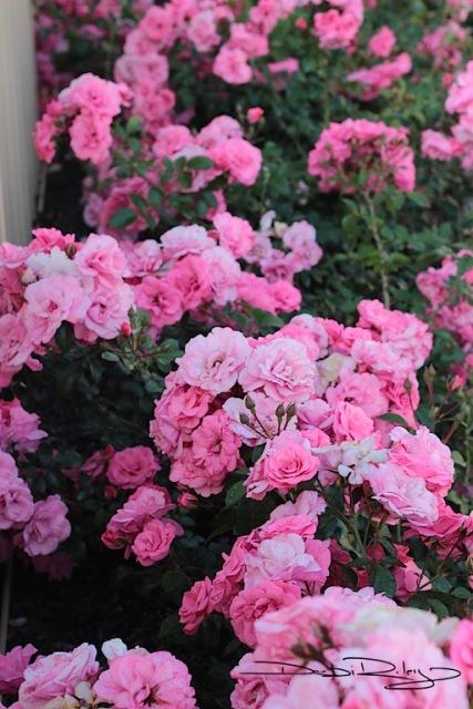 neighbourhood sweetheart pink roses photo debiriley.com
