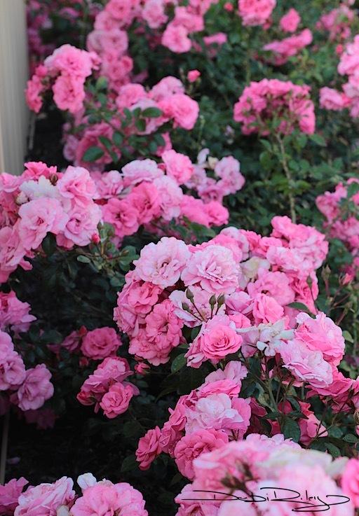 Neighbors' Gardens AtDaybreak