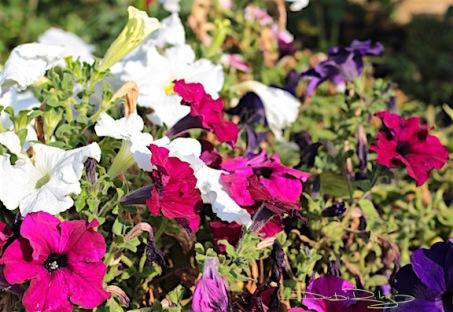 garden petunias photograph, debiriley.oom