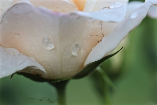 delicate rose in bloom, photo, debiriley.com