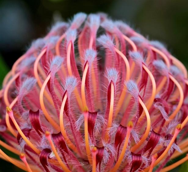 Crimson grevillia, grey spike thorns, photo, debirilely.com