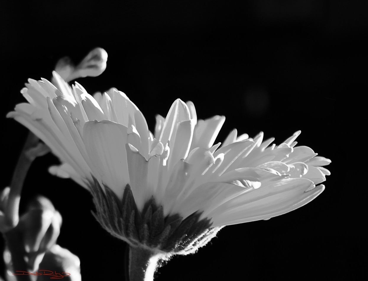 flower petals black and white photograph, in the light, debiriley.com