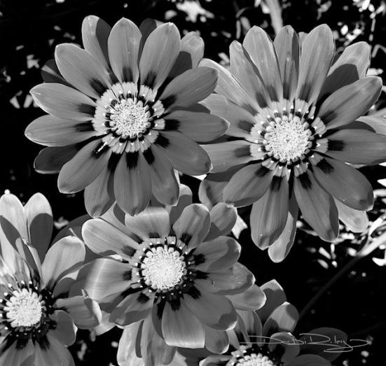 flower photo in b/w, debiriley.com