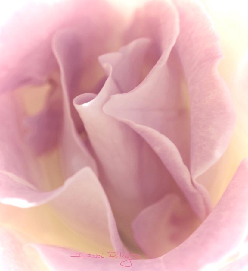 A Rose in the garden, photo, debiriley.com