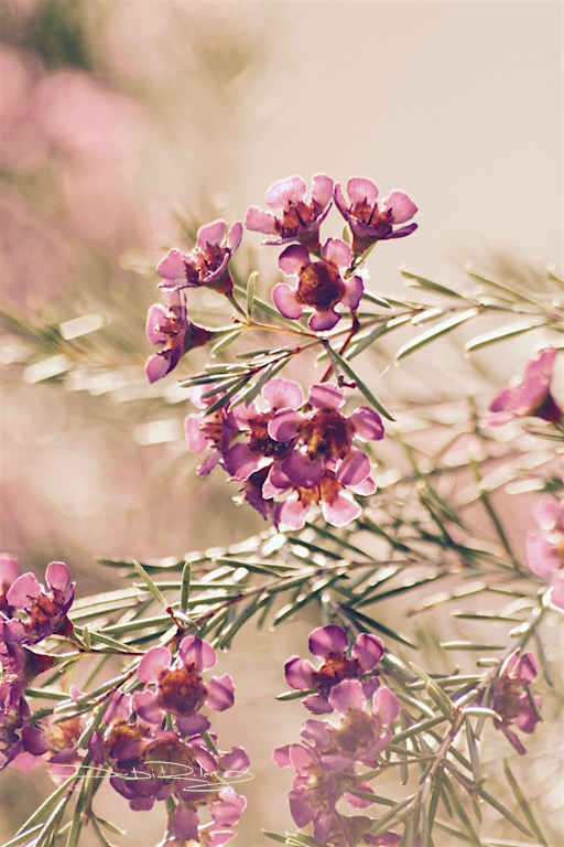 Softly, flower photograph, romantic old fashioned, debiriley.com
