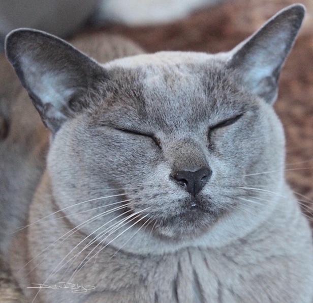 Moet, grey burmese cat, color mixing grey, debiriley.com